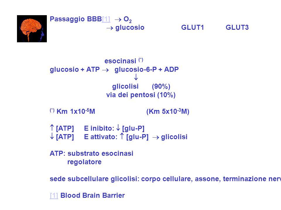Passaggio BBB[1]  O2  glucosio GLUT1 GLUT3. esocinasi (*) glucosio + ATP  glucosio-6-P + ADP.